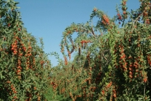 Goji-berries-in-the-plant