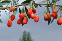 Goji-berries