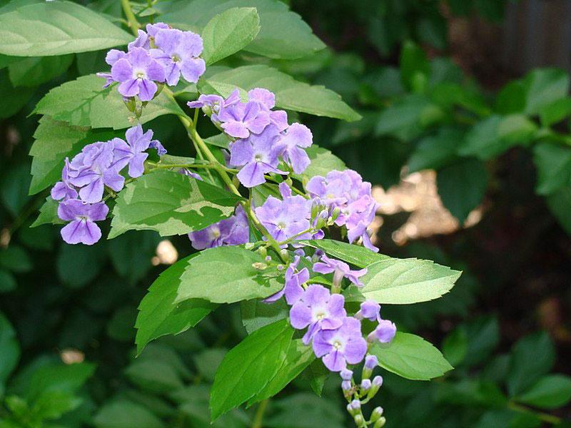 Flower-of-Golden-dewdrop