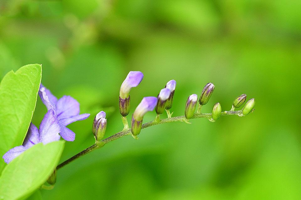 Flowering-buds-of-Golden-dewdrop