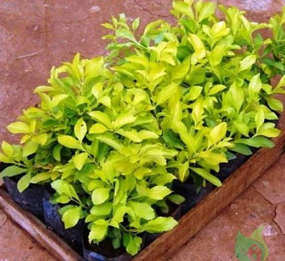 Golden-dewdrop-plant