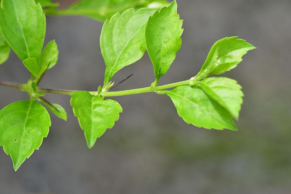 Leaves-of-Golden-dewdrop