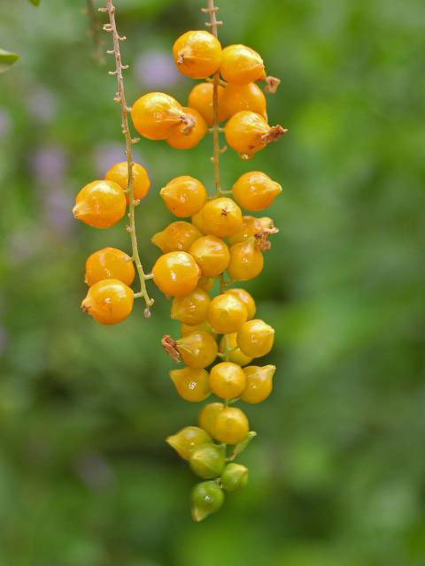 Ripe-fruits-of-Golden-dewdrop