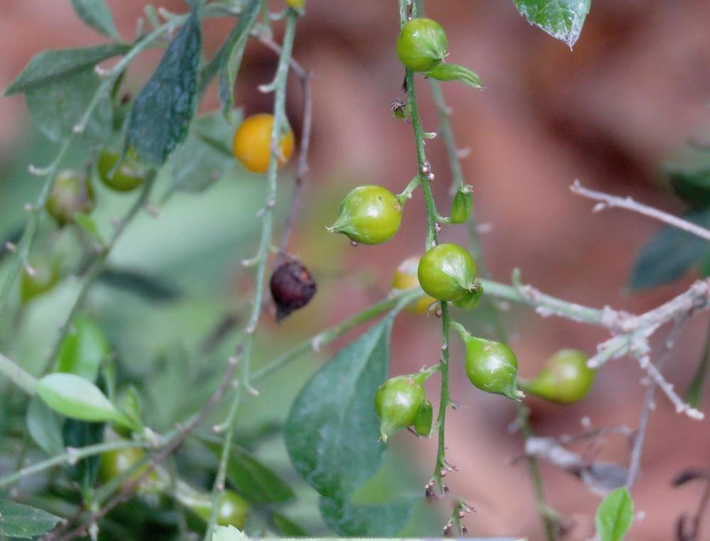 Unripe-fruits-of-Golden-dewdrop