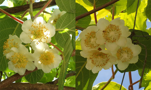 Flower-of--Golden-Kiwi