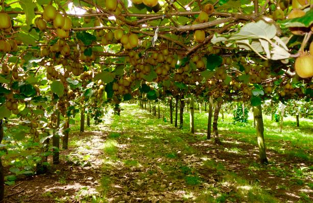 Golden-Kiwi-farming