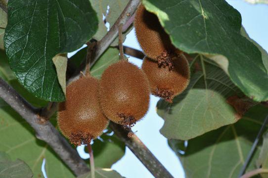 Golden-Kiwi-on-the-plant