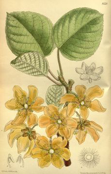 Plant-Illustration-of-Golden-Kiwi