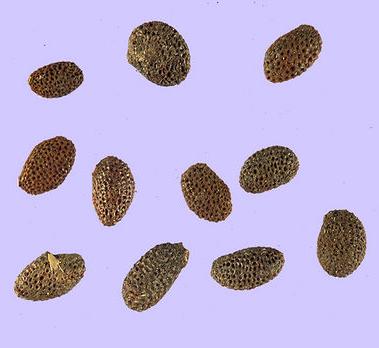 Seeds-of-Golden-Kiwi