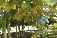 Golden-Kiwi-plant