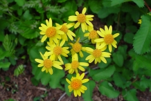 Flower-bundle-of-Golden-Ragwort
