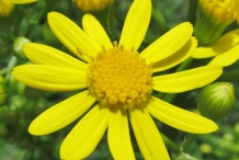 Golden-Ragwort-flower