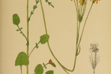 Illustration-of-Golden-Ragwort
