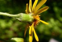 Golden-Ragwort-corolla