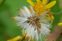 Golden-Ragwort-seeds