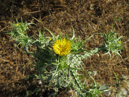 Golden-Thistle-Plant