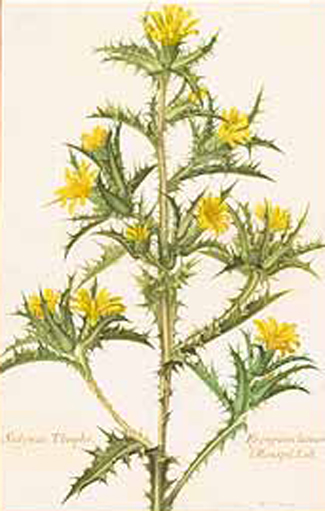 Plant-Illustration-of-Golden-thistle