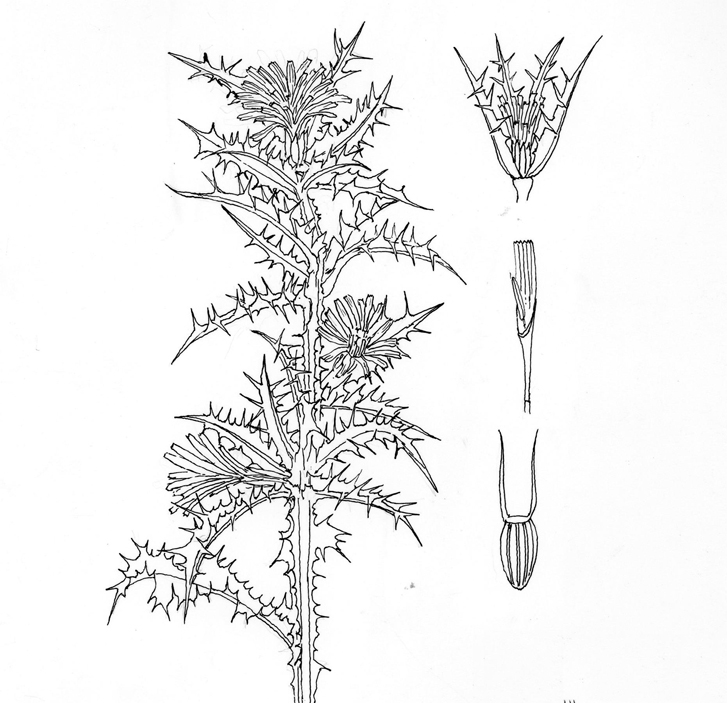 Sketch-of-Golden-thistle