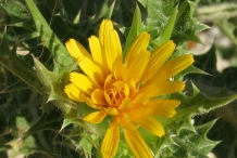 Closer-view-of-flower-of-Golden-thistle
