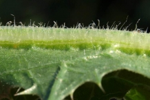 Closer-view-of-leaves-of-Golden-thistle