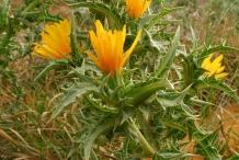 Flower-of-Golden-thistle