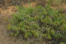Golden-thistle-Plant-growing-wild