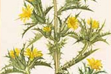 Plant-Illustration-of-Golden-thistle
