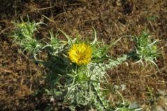 Golden-Thistle-Plant