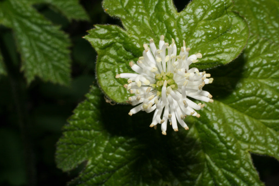 Goldenseal-Flower