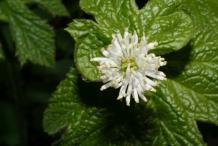 Goldenseal-Flower