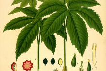 Goldenseal-plant-Illustration