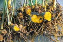 Goldenseal-root