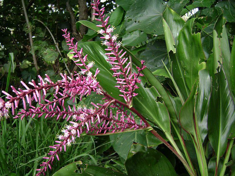 Inflorescesnce-of-Goodluck-Plant