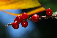 Closer-view-of-berries-of-Goodluck-Plant