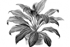Sketch-of-Goodluck-Plant