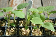 Gooseberry-seedlings