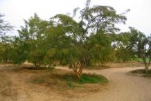 Gooseberry-tree