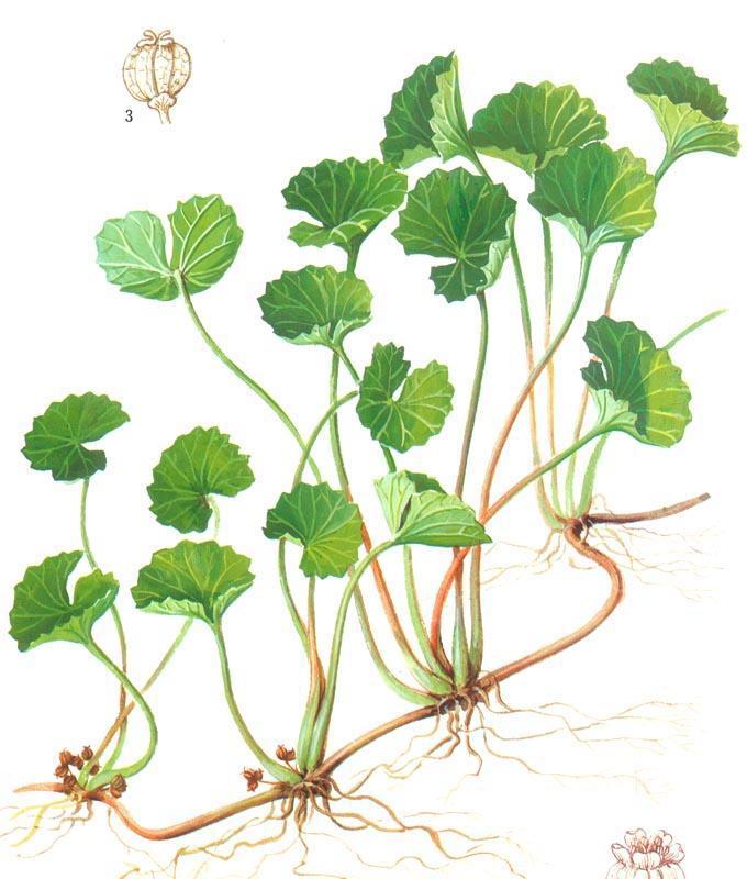 Gotu-Kola-Plant-Illustration