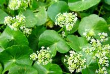 Gotu-Kola-Flower