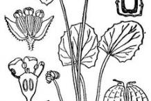 Gotu-Kola-plant-Sketch