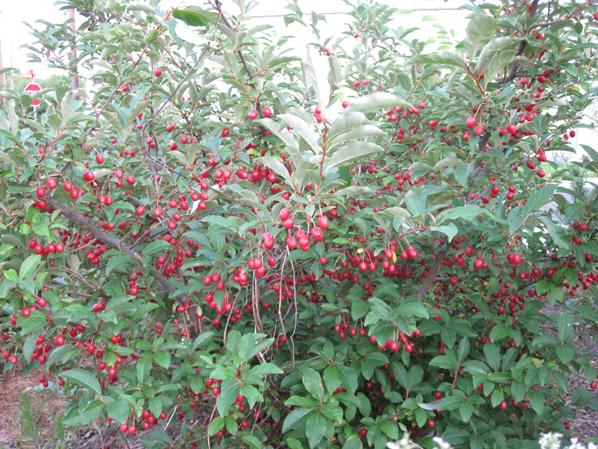 Goumi-Berry--plant