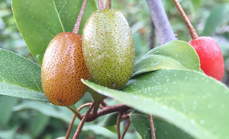 Unripe-Goumi-Berry