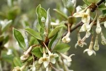 Flowers-of-Goumi-Berry