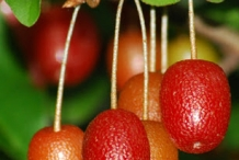 Goumi-Berry-on-the-tree