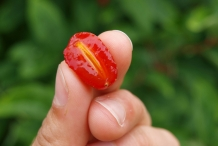 Half-cut-Goumi-Berry