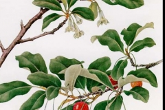 Plant-Illustration-of-Goumi-Berry