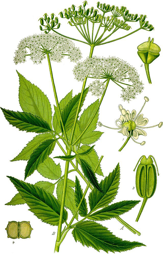 Plant-Illustration-of-Goutweed