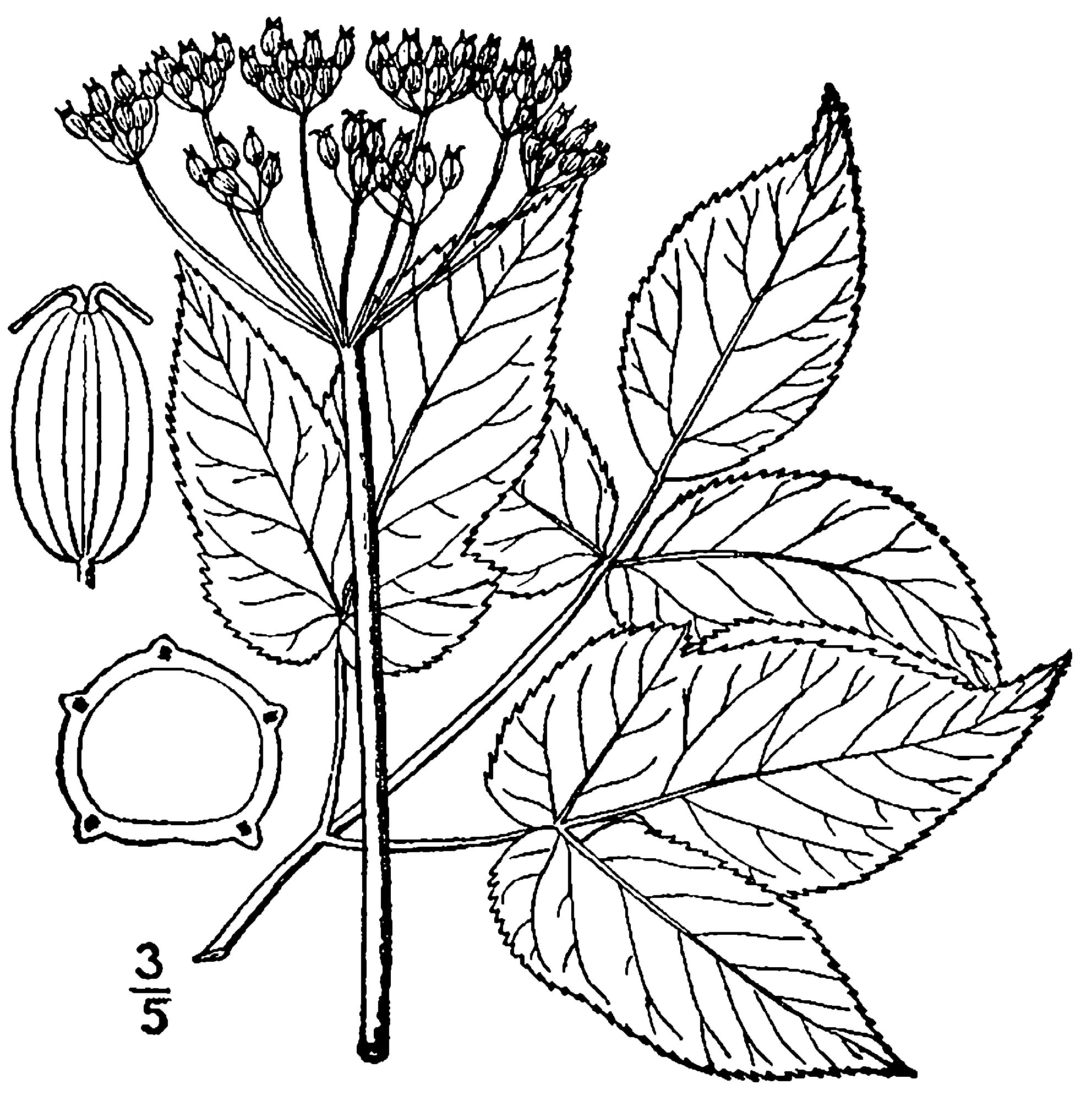 Sketch-of-Goutweed