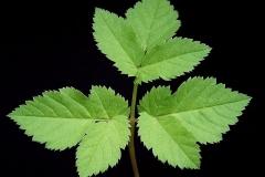 Basal-leaf-of-Goutweed