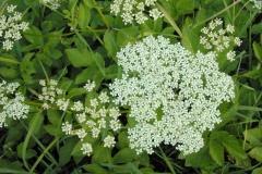 Flower-of-Goutweed